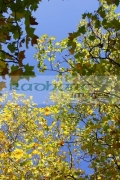 deciduous-trees-showing-autumn-colours-against-blue-sky-in-st-Stephens-Green-Dublin-City-Centre